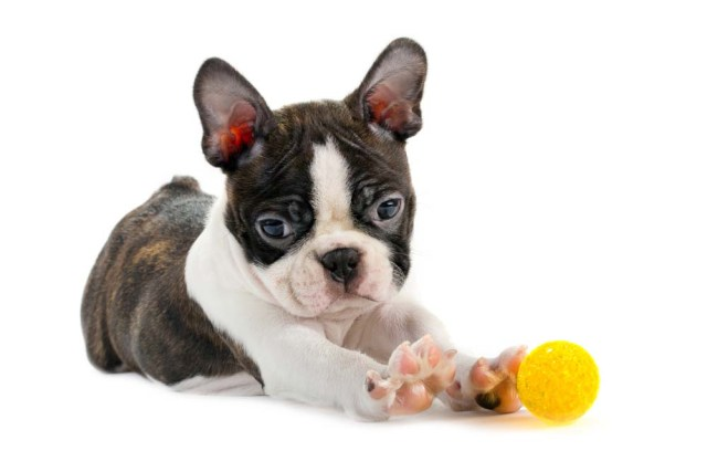 Boston Terrier puppy as one of the top 10 cute dog breeds