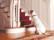 Dog Arthritis Stairs How to Help a Dog with Arthritis at Home