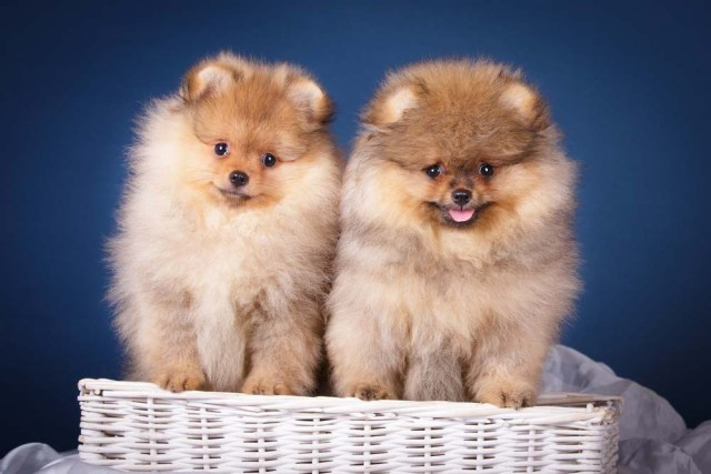 Pomeranian puppies are the cutest dogs