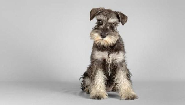 Schnauzer as best dog for allergies