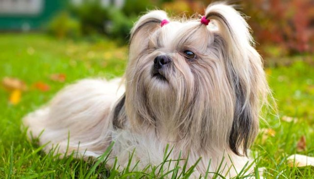 Shih Tzus for allergic people