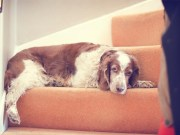 How to Train a Dog to Use Stairs