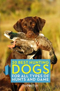 Top Best Hunting Dogs for All Types of Game