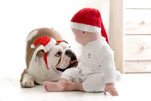 Baby playing with an English Bulldog