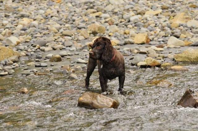 Boykin Spaniel - Best Hunting Dog