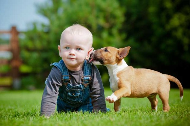 Bull Terrier dog licking a small toddler
