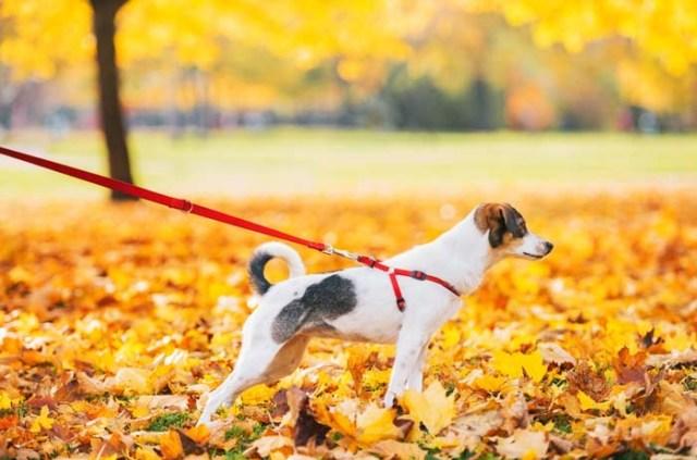 Continuing Dog Leash Training Outdoors