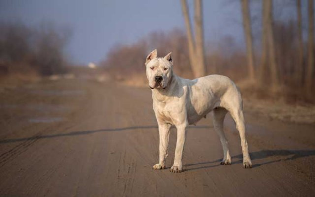 Dogo Argentino - Best Hunting Dog