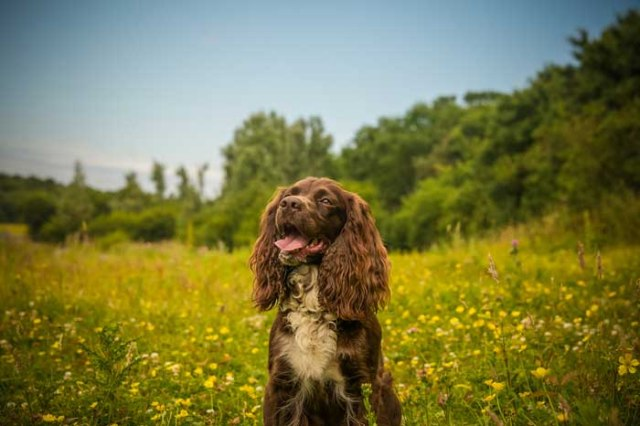 Field Spaniel - Best Hunting Dog