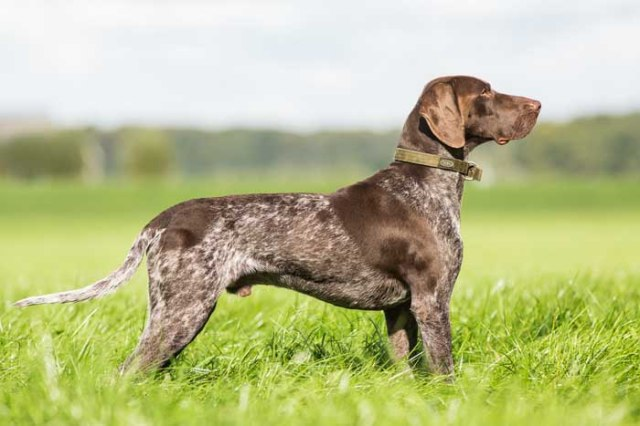 German Shorthair Pointer - Best Hunting Dog
