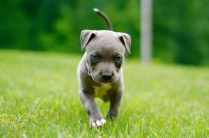 How to Train Your Pitbull