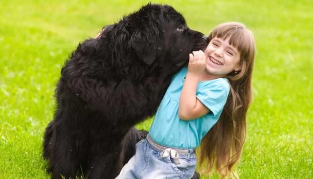 Newfoundland dog and a small girl