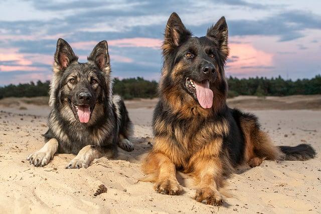 Useful German Shepherd Training Tips