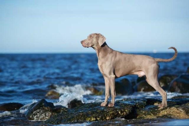 Weimaraner - Best Hunting Dog