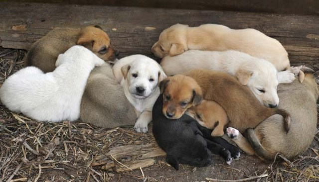 pregnant dogs puppy litter