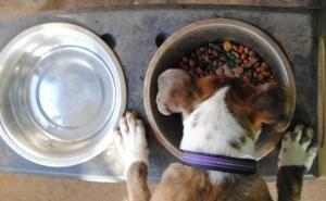 Regular Dog Bowls vs. Raised Dog Bowls