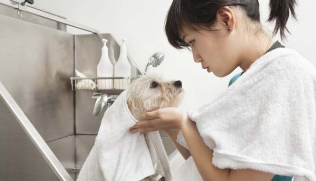 how to become a dog groomer in america