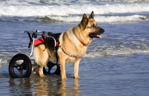 How to Improve Quality of Life for Disabled Dogs