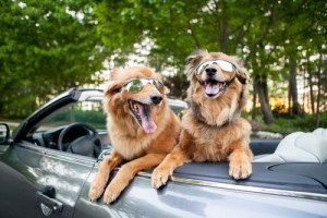 dogs traveling in a car