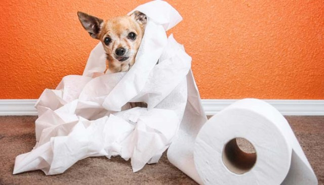How to Get Dog Urine Smell Out of Carpet And Reasons Why
