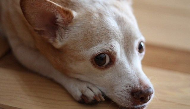 do you know what to do if your dog has the flu