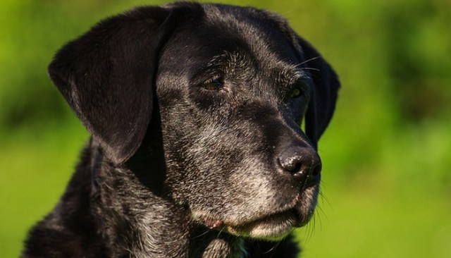 Is Your Dog Suffering From Canine Dementia