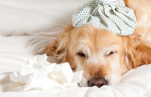 The Truth About Canine Influenza