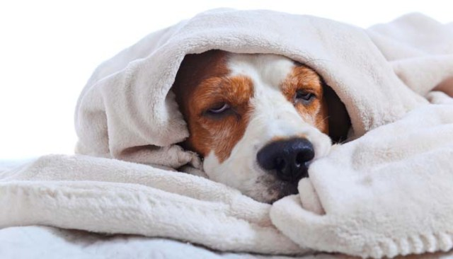 The Truth About Dog Influenza