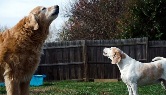 Why Do Dogs Howl and How to Get Them to Stop