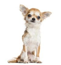 Chihuahua - Most Common Dog Breed Stereotypes DEBUNKED
