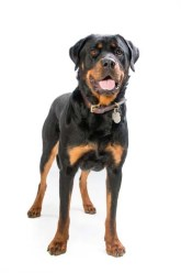 Rottweiler - Most Common Dog Breed Stereotypes DEBUNKED