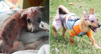 Scalded and Thrown From the 4th Floor, This Puppy Cheats Death