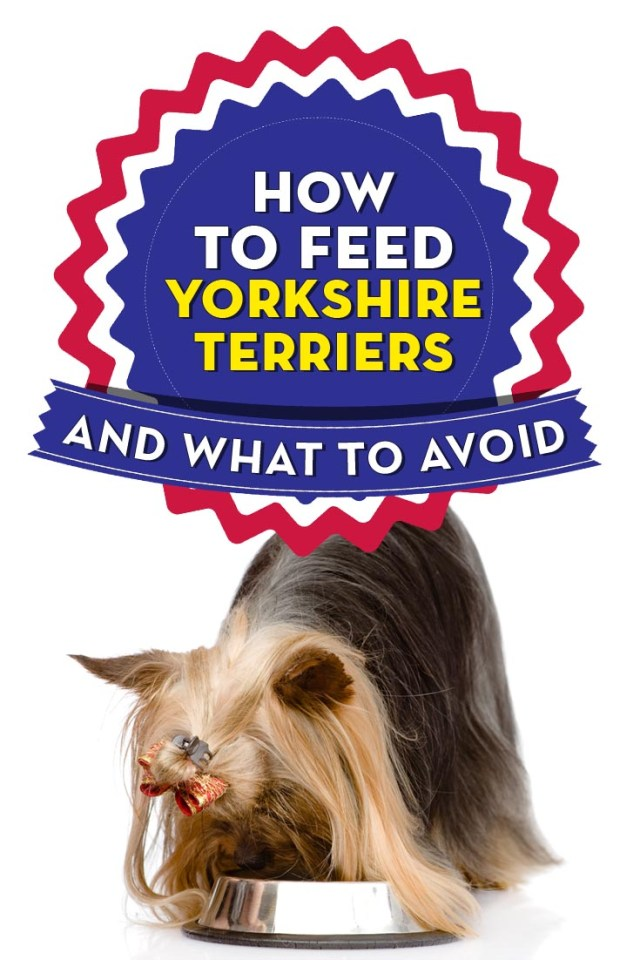 Best Dog Food for Yorkies Terries