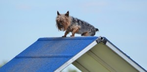 Terrier Trials for small sporty dogs