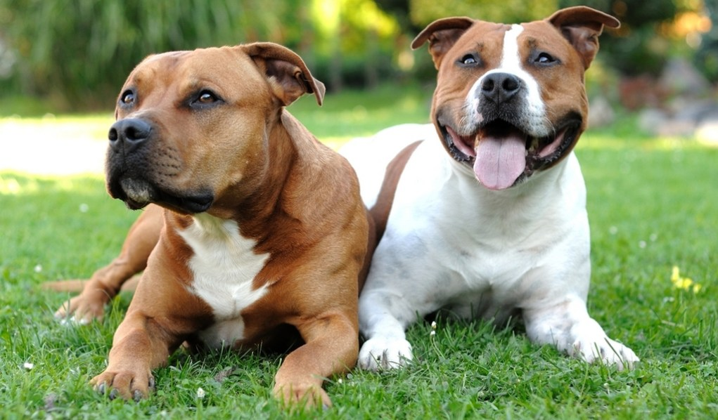 Staffordshire Bull Terrier Profile