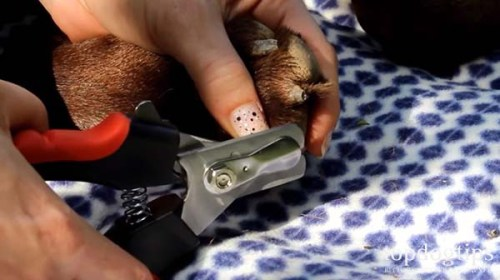 Cutting a dog's nails with dog clippers