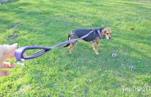How to Stop a Dog from Pulling on Leash