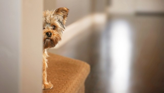 Would You Give Your Dog A Prescription To Help With Noise Sensitivity