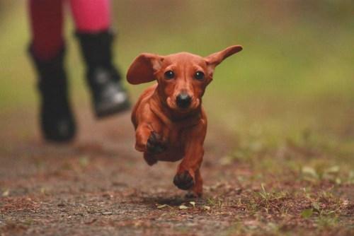 Dachshund guard dog