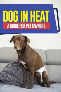 Dog in Heat - The Guide for Pet Owners