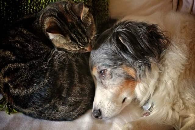 Australian Shepherd friends with a cat