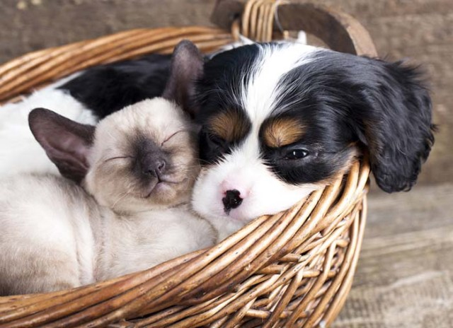 Cavalier King Charles Spaniel and a kitten