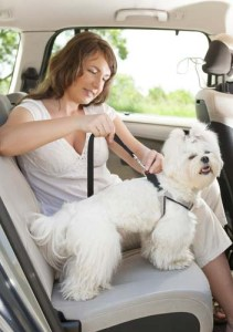 Dog seat belt testing in the car