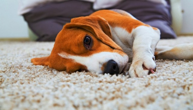 How To Get Dog Hair Out of Carpet