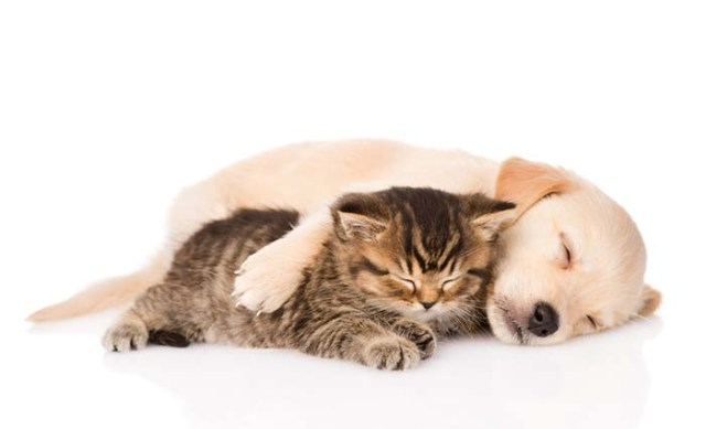Labrador Retriever and a cat