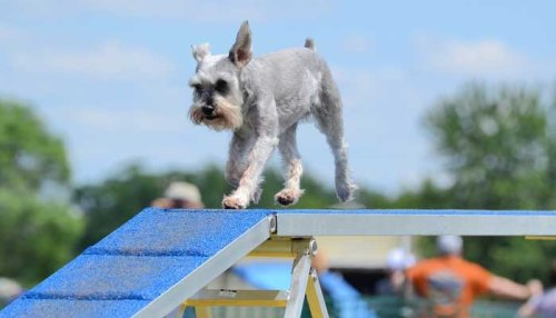 Science on Risks of Dog Agility Training