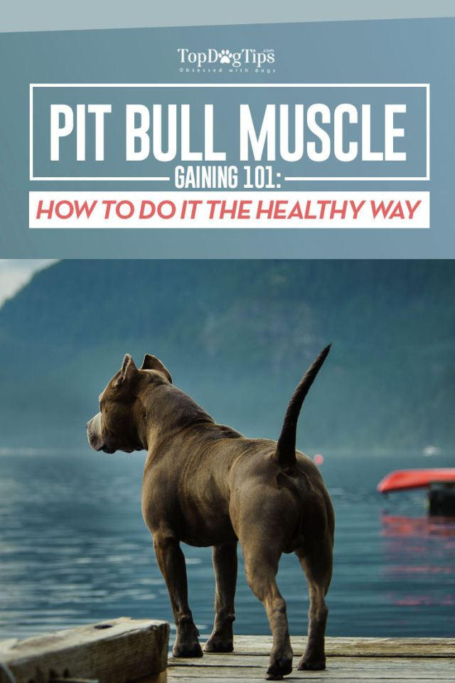 How to Bulk Up a Pit Bull Guide