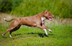 Best Dog Food For Pit Bulls to Gain Muscle