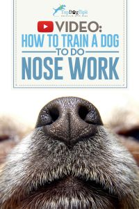 How To Train A Dog To Do Nose Work Video