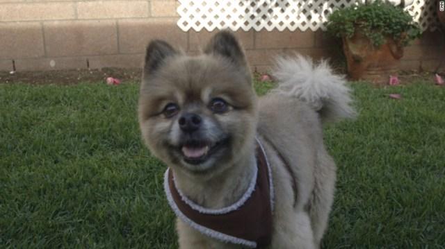 Sherman the Pomeranian